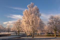 406. Frozen Birch, Bellahouston Park, Glasgow