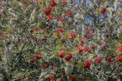 300. Rowan Tree with berries, Pitlochry