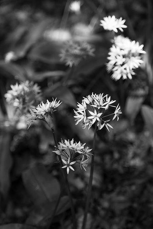 291. Wild Garlic, Pollock Country Park, Glasgow