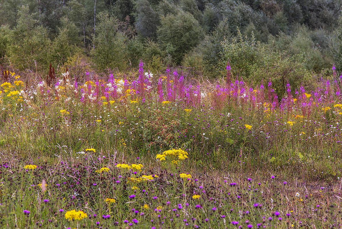 313. Wild Flowers on Knockshinnoch coal spoil, New Cumnock