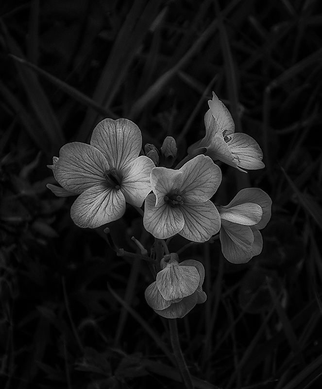 613.  Cuckoo Flower
