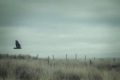 225. Hunting Golden Eagle, East Ayrshire