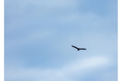 319.  Approaching Golden Eagle