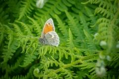 455. Small Heath Butterfly
