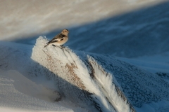 087. Snow Bunting, Cairngorms
